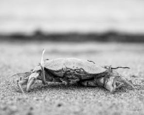 Deceased Crab