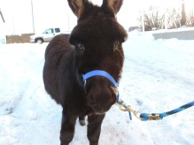 Jip, my mini donkey from Alberta...